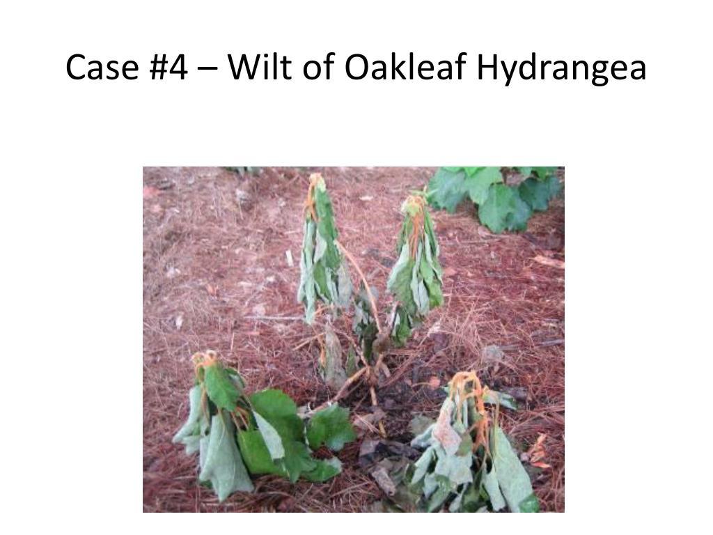 Case #4 – Wilt of