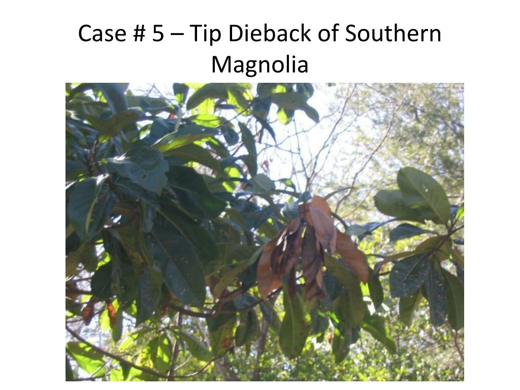 Case # 5 – Tip Dieback of Southern Magnolia