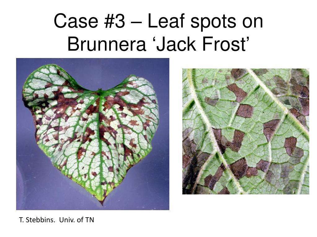 Case #3 – Leaf spots on Brunnera 'Jack Frost'
