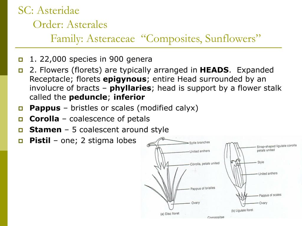 sc asteridae order asterales family asteraceae composites sunflowers l.