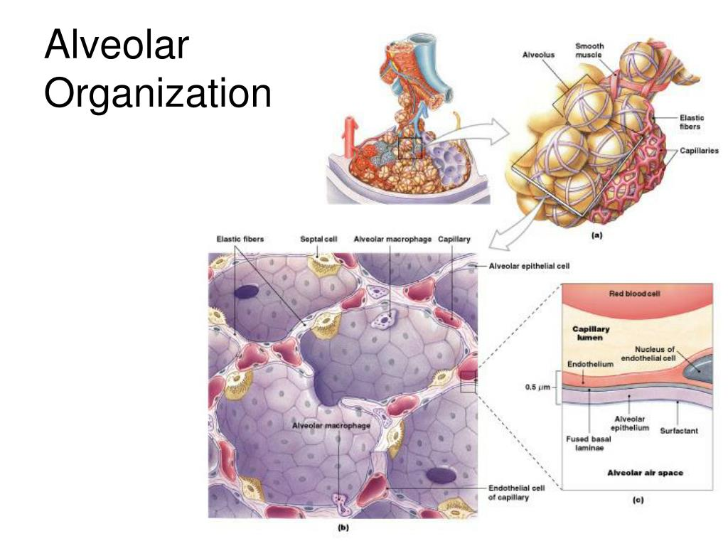 Alveolar Organization