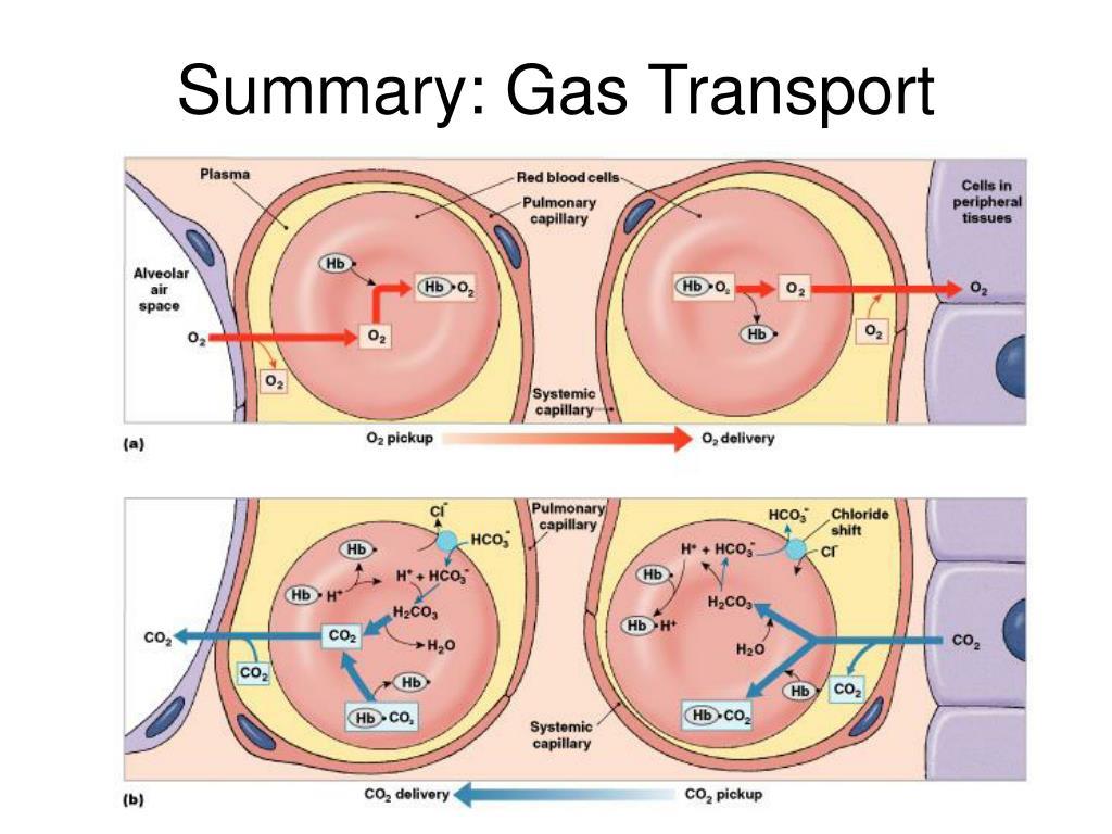 Summary: Gas Transport