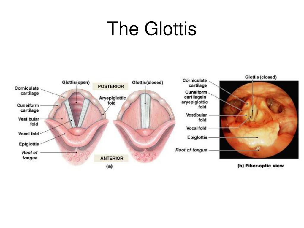 The Glottis