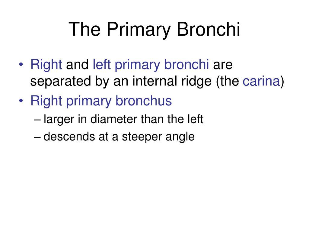 The Primary Bronchi