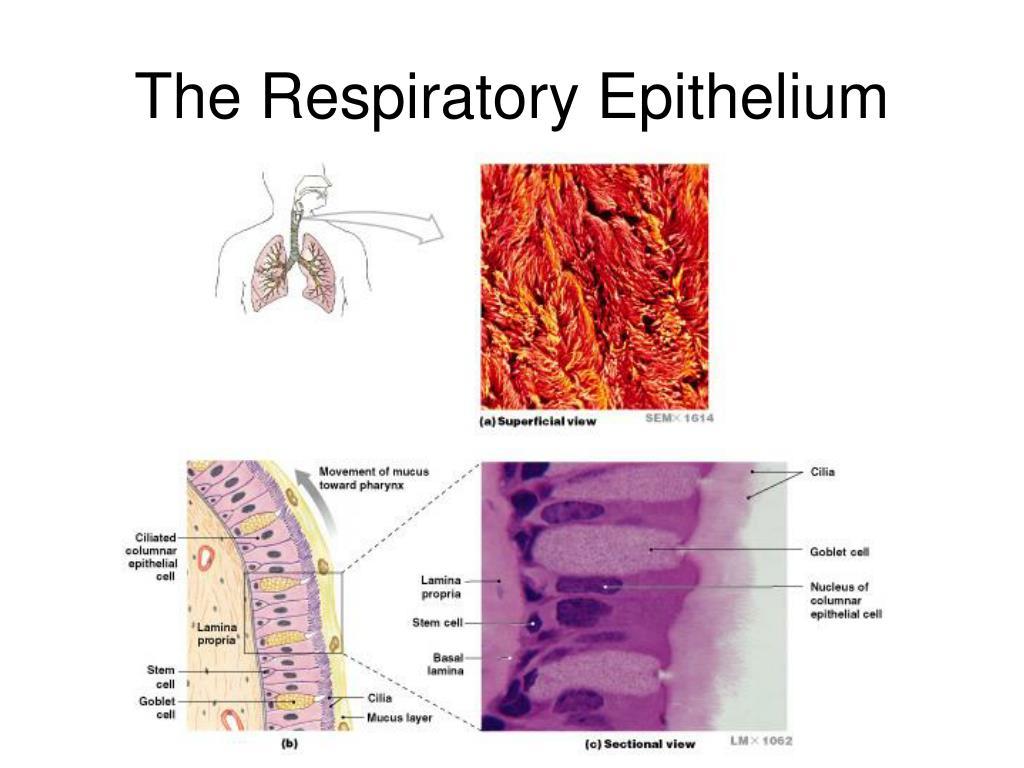 The Respiratory Epithelium