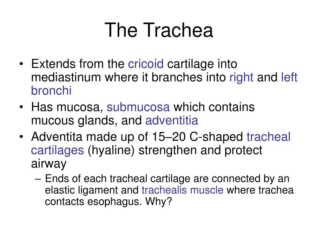 The Trachea