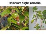 ramorum blight camellia