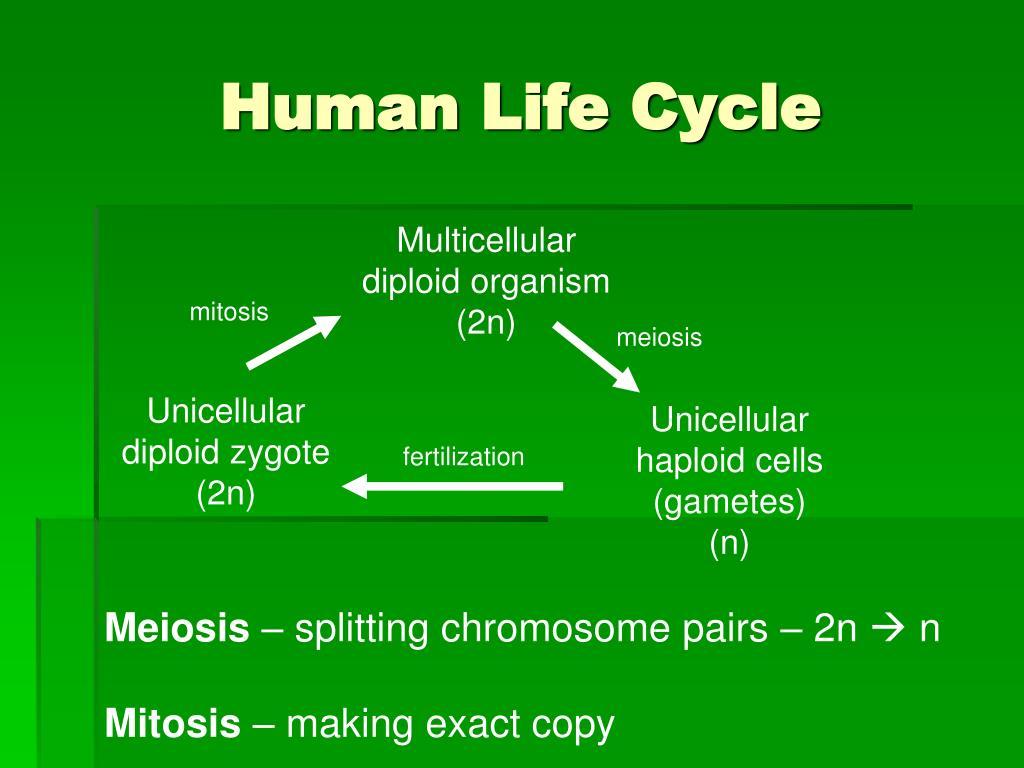 human life cycle l.