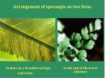 arrangement of sporangia on two ferns