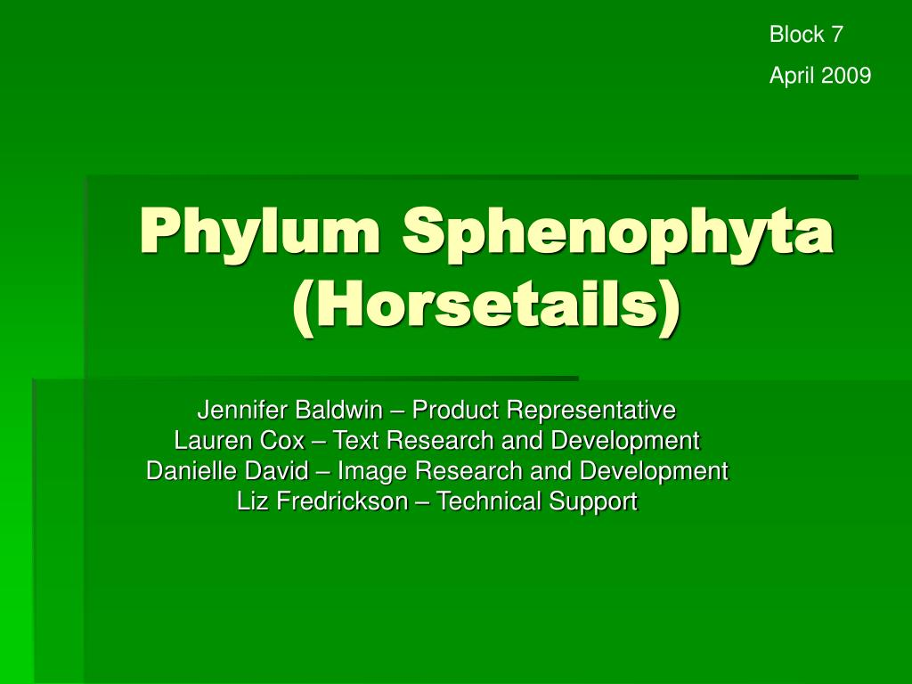 phylum sphenophyta horsetails l.