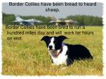 border collies have been bread to heard sheep
