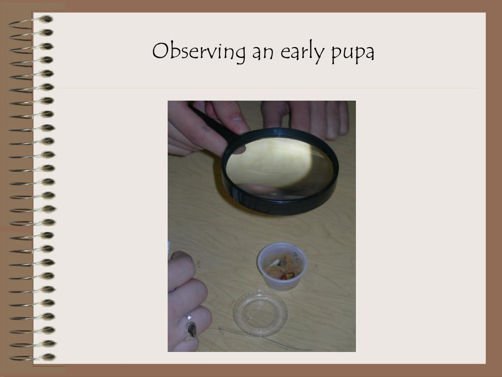 Observing an early pupa