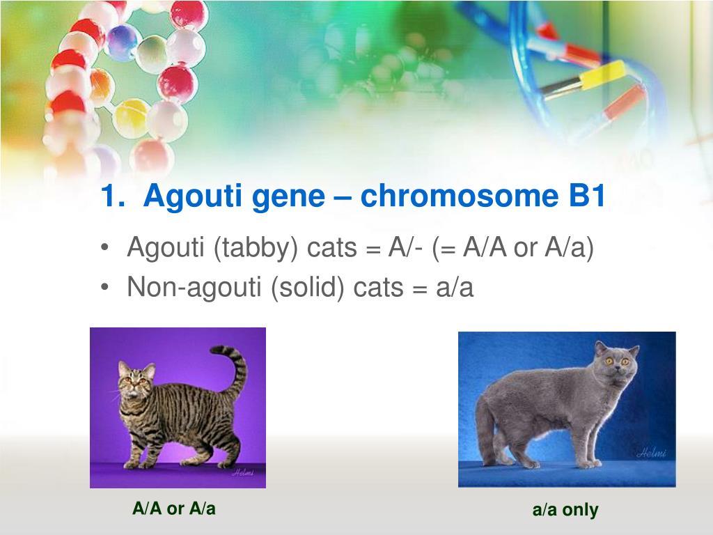 1.  Agouti gene – chromosome B1