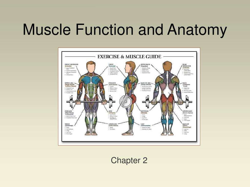 muscle function and anatomy l.