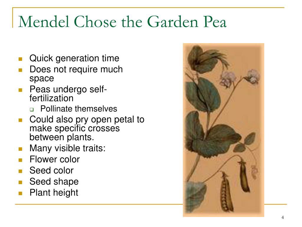Mendel Chose the Garden Pea