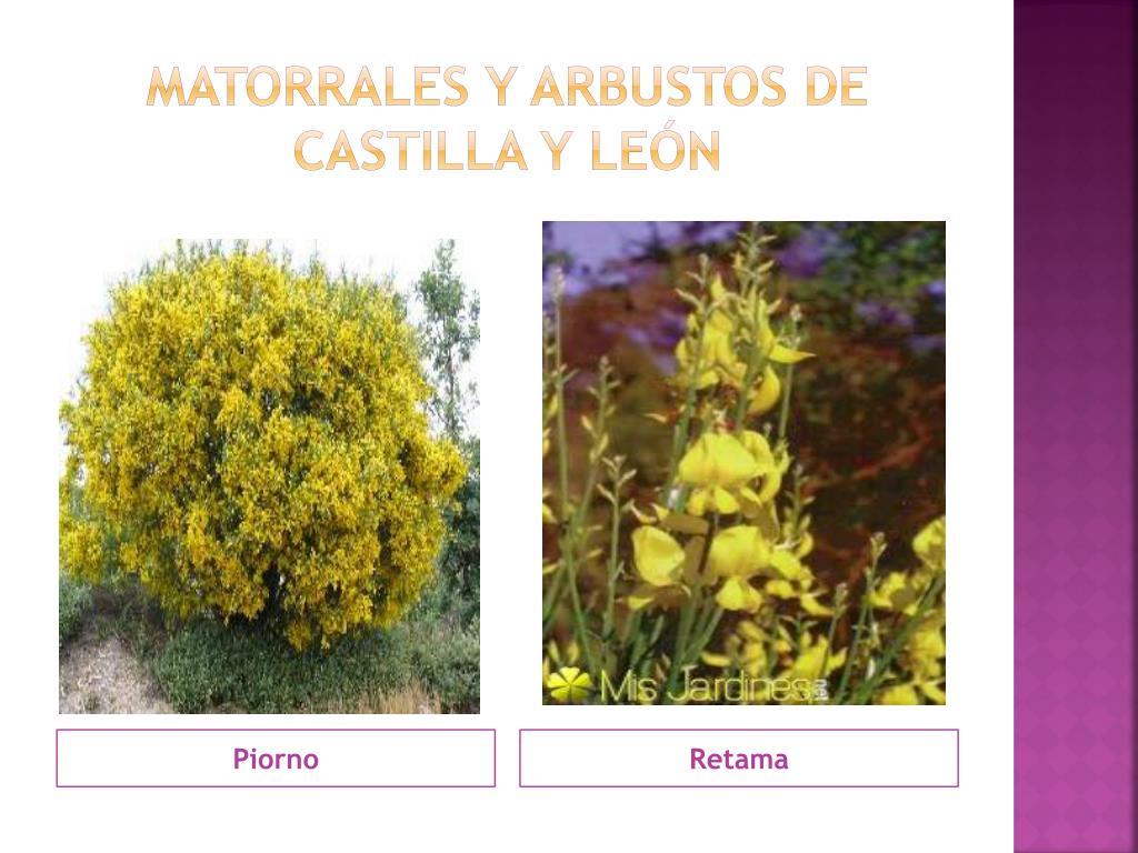 MATORRALES Y ARBUSTOS DE CASTILLA Y LEÓN