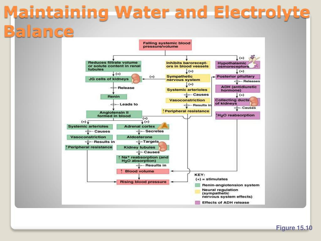 Maintaining Water and Electrolyte Balance