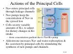 actions of the principal cells