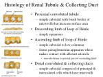 histology of renal tubule collecting duct