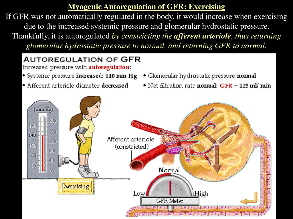Myogenic Autoregulation of GFR: Exercising