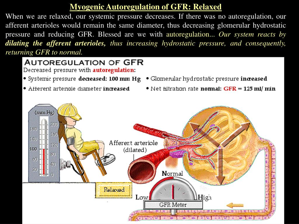 Myogenic Autoregulation of GFR: Relaxed