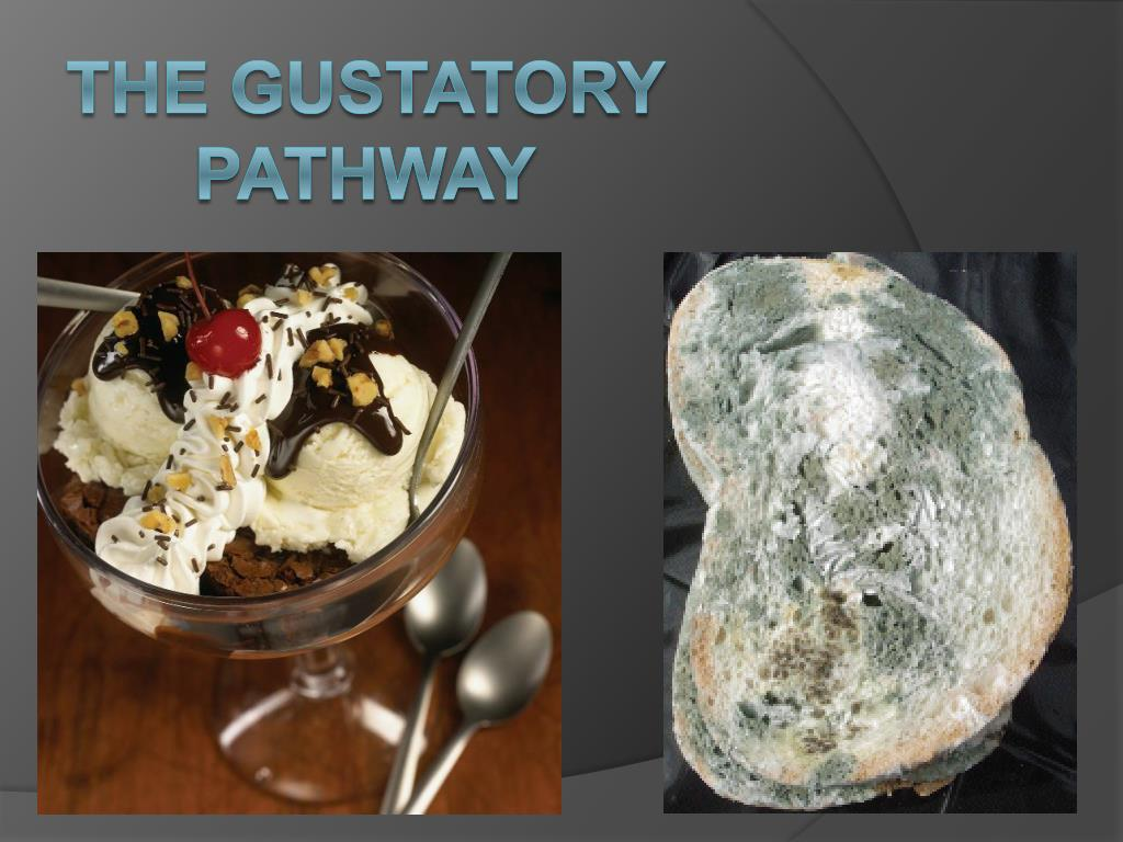 the gustatory pathway l.