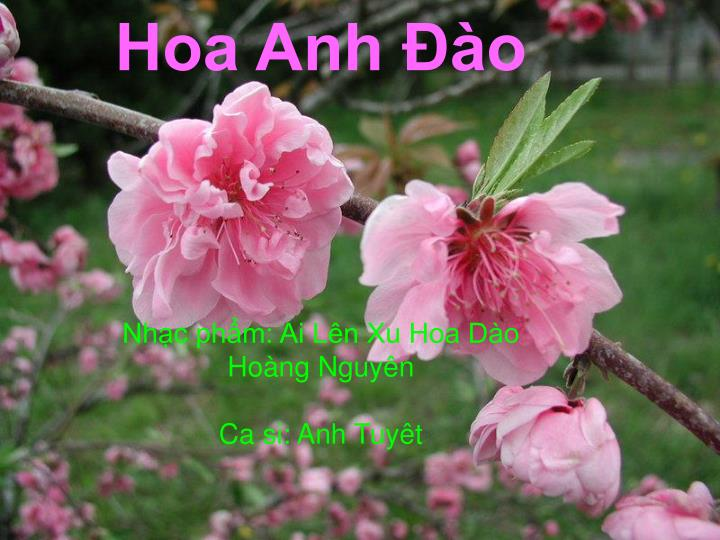 hoa anh o nh c ph m ai l n xu hoa d o ho ng nguy n ca si anh tuy t n.