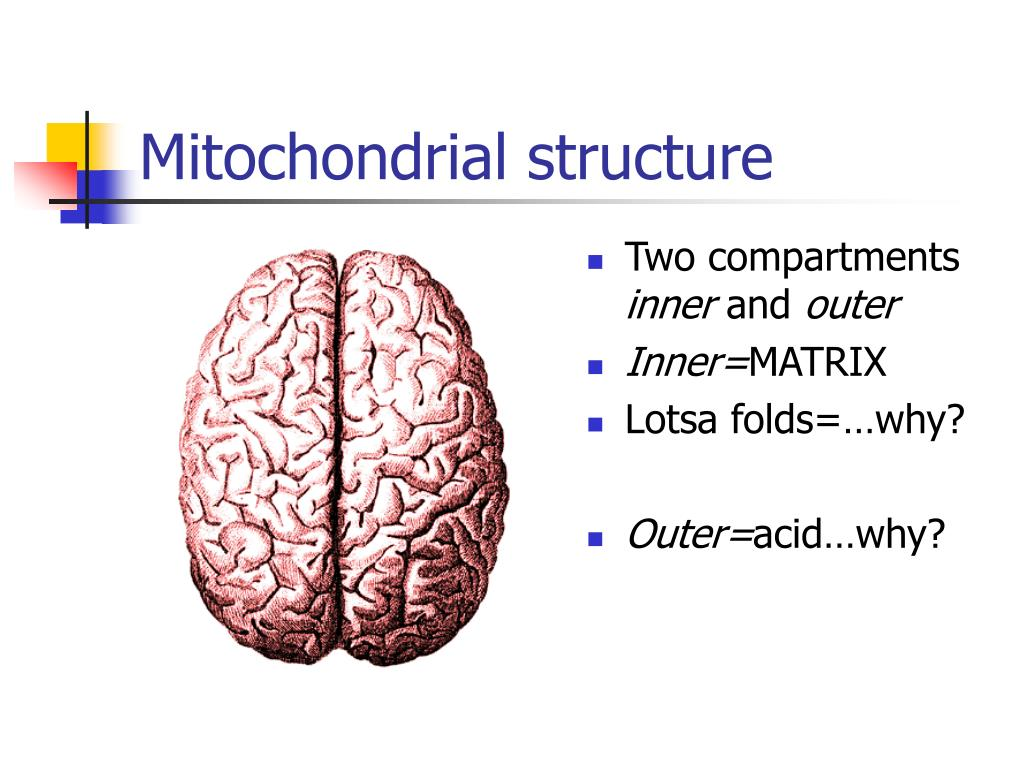 Mitochondrial structure