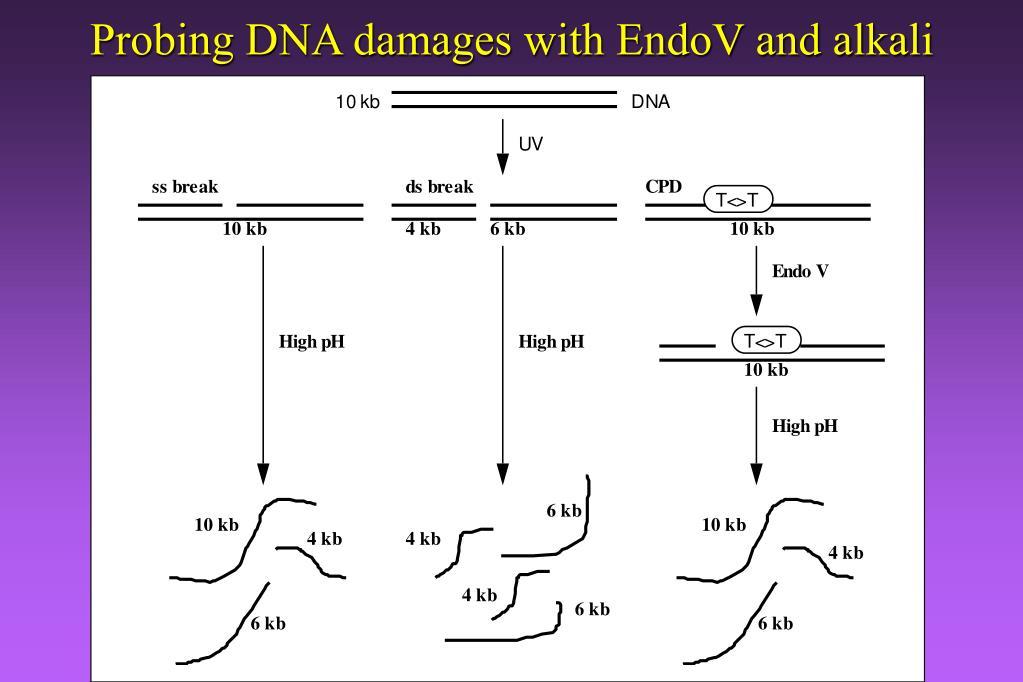 Probing DNA damages with EndoV and alkali