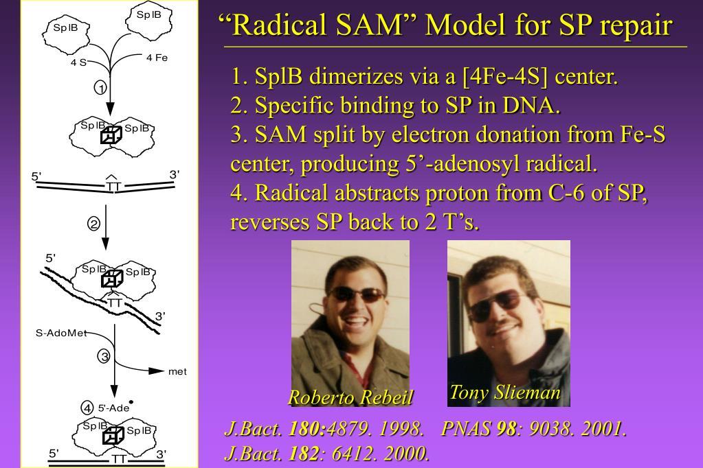 """""""Radical SAM"""" Model for SP repair"""