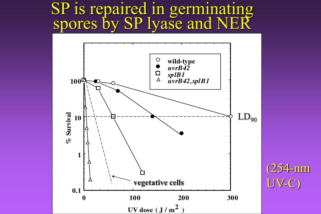 SP is repaired in germinating spores by SP lyase and NER
