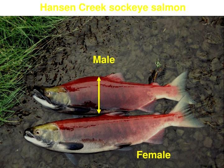 Hansen Creek sockeye salmon