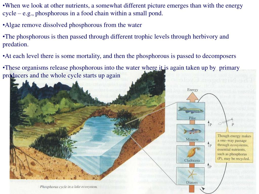 When we look at other nutrients, a somewhat different picture emerges than with the energy cycle – e.g., phosphorous in a food chain within a small pond.