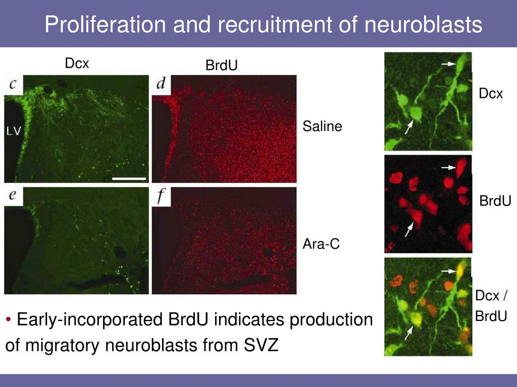 Proliferation and recruitment of neuroblasts