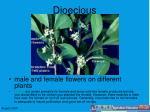 dioecious