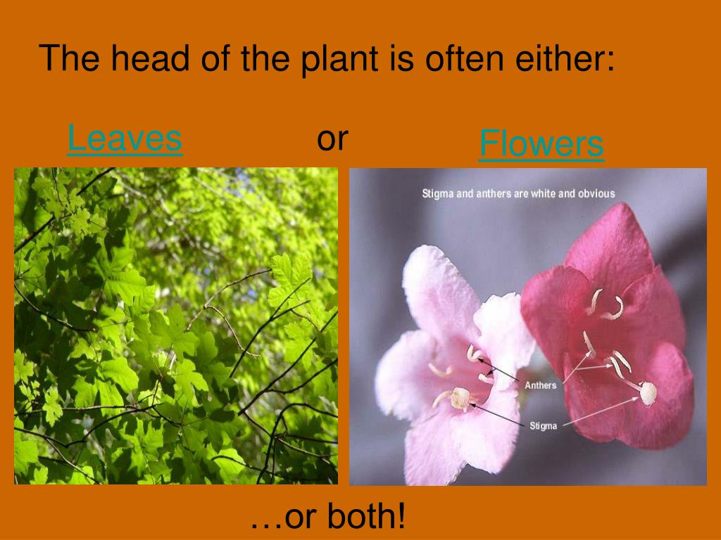 The head of the plant is often either: