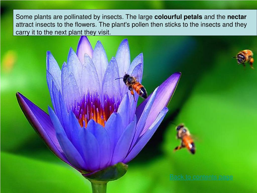 Some plants are pollinated by insects. The large