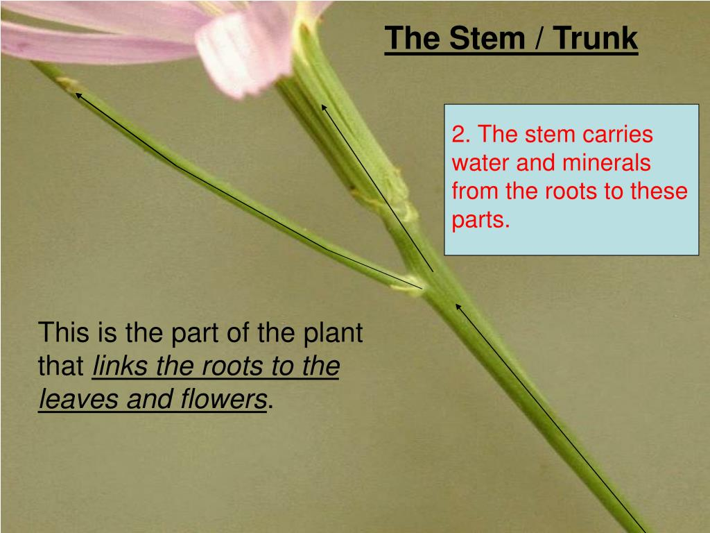 The Stem / Trunk