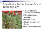 brown rust or chrysanthemum rust is distinct from cwr