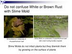 do not confuse white or brown rust with slime mold