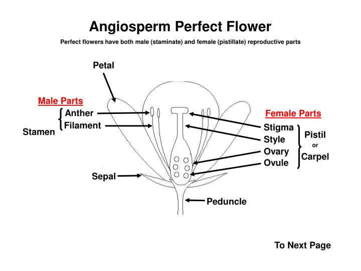 Angiosperm Perfect Flower