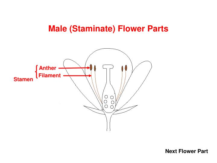 Male (Staminate) Flower Parts