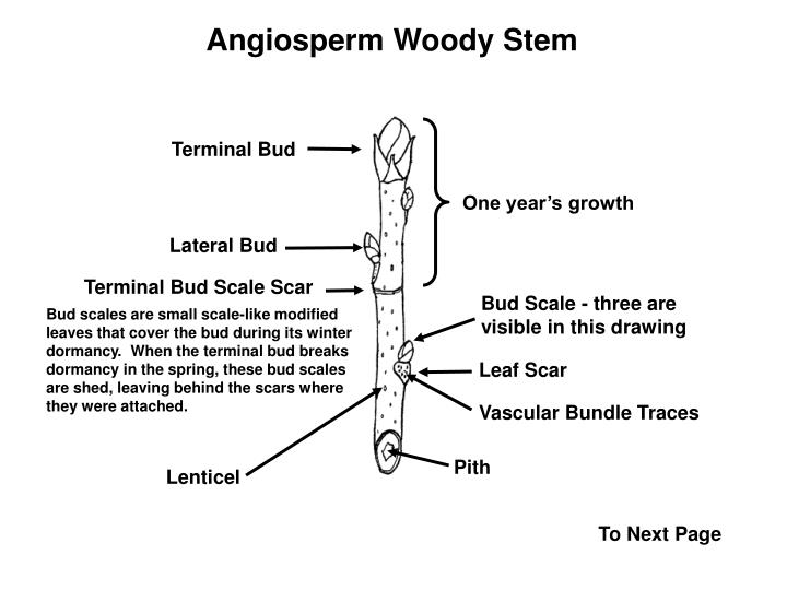 Angiosperm Woody Stem