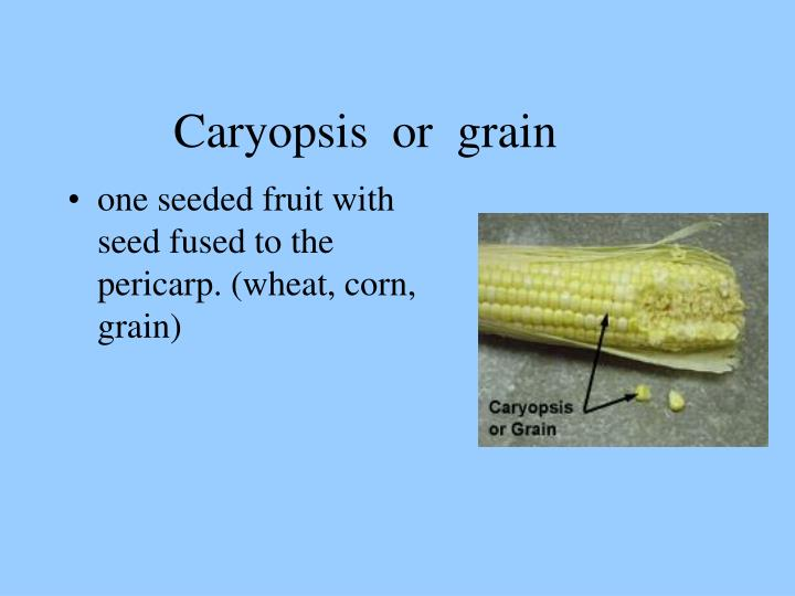 Caryopsis  or  grain