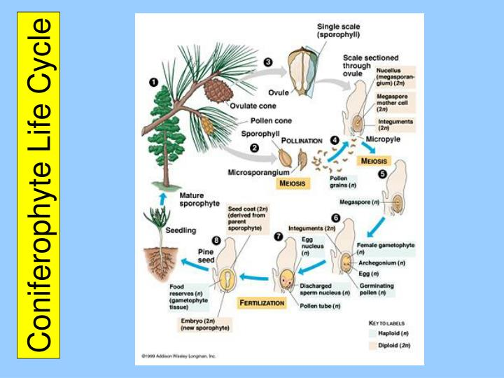 Coniferophyte Life Cycle