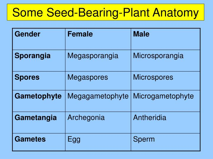 Some Seed-Bearing-Plant Anatomy