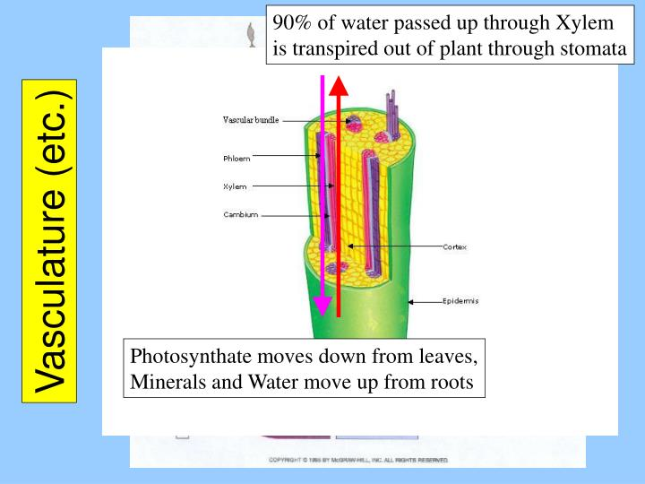 90% of water passed up through Xylem