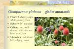 gomphrena globosa globe amaranth