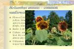 helianthus annuus common sunflower