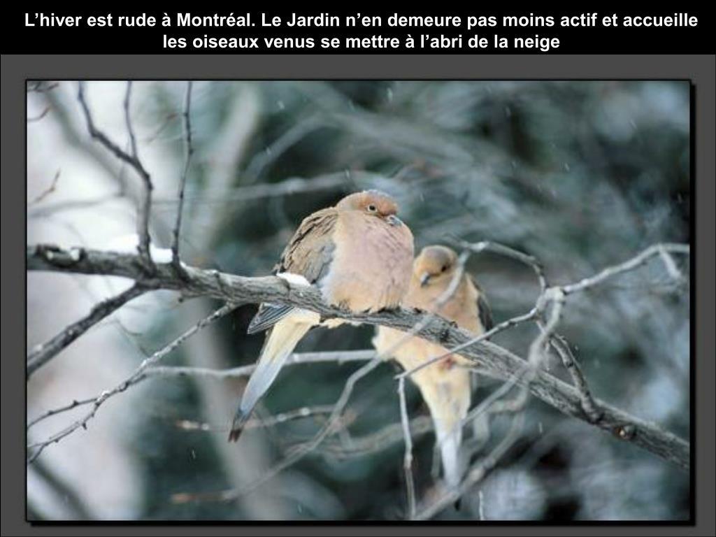 L'hiver est rude à Montréal. Le Jardin n'en demeure pas moins actif et accueille les oiseaux venus se mettre à l'abri de la neige